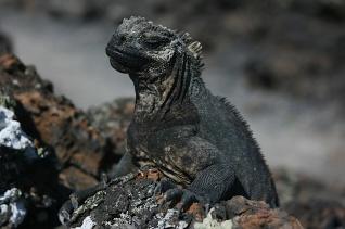 Beady Eye. Isabela Island, Galapagos