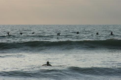 Pelicans are the best surfers.Canoa, Ecuador