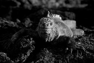 Solar powered iguana.Isabela, Galápagos